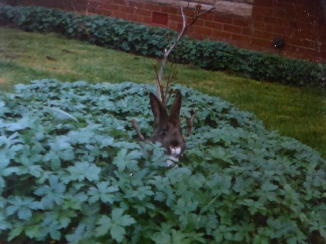 Frisky pet rabbit