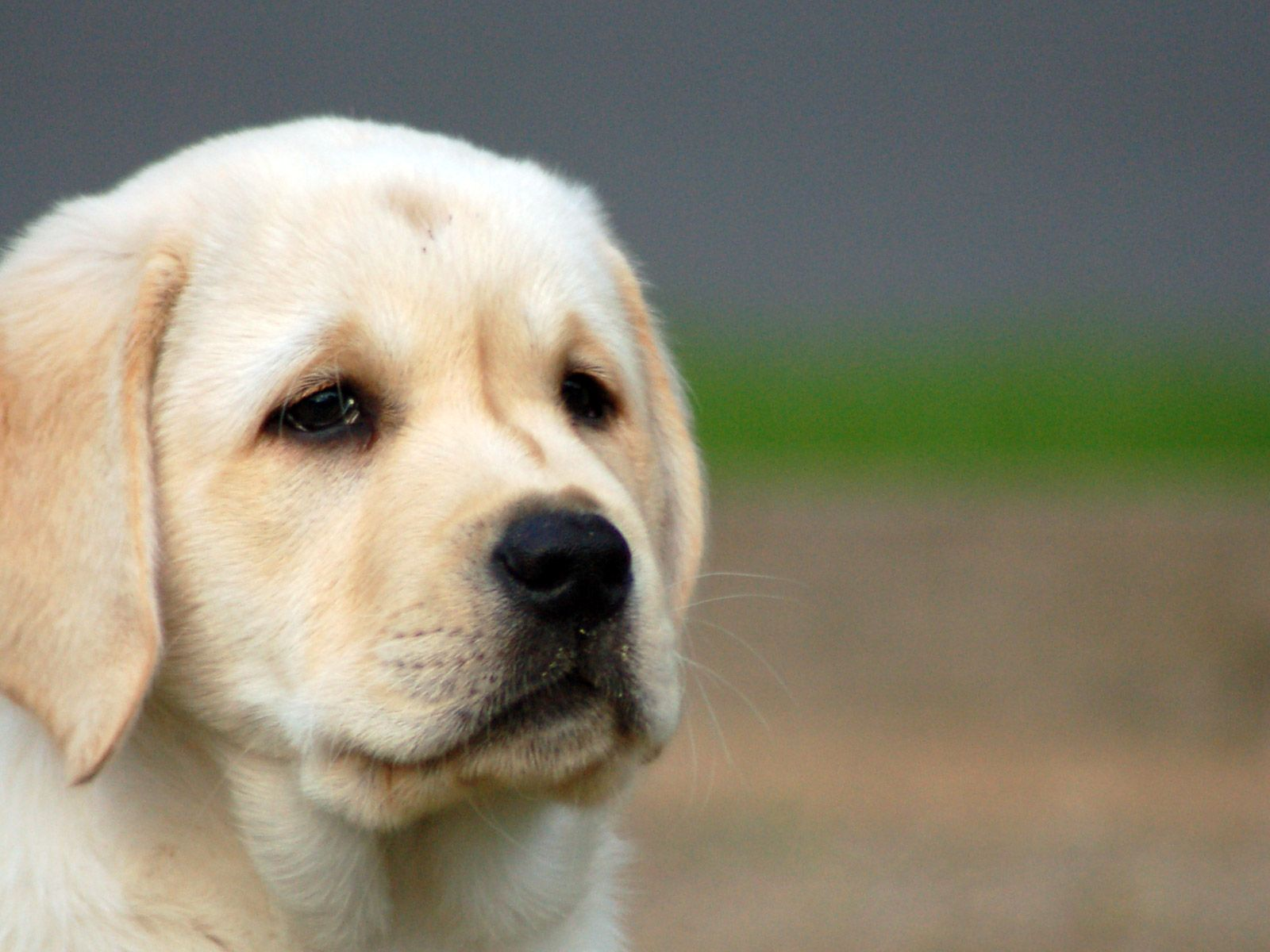 Sophisticated Labrador Wallpapers Lab Puppies Wallpapers Group Sad Pet Gif Sad Puppy Reaction Gif bark post Sad Puppy Gif