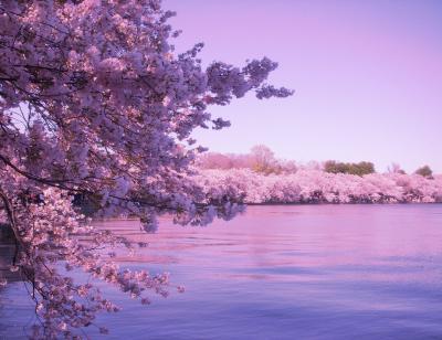 Cherry Blossom Desktop Wallpapers - Top Free Cherry Blossom Desktop Backgrounds - WallpaperAccess