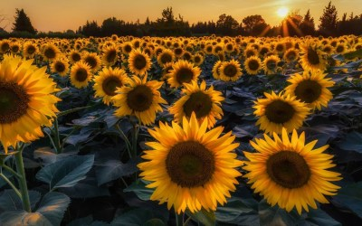 Sunflower Desktop Wallpapers - Top Free Sunflower Desktop Backgrounds - WallpaperAccess