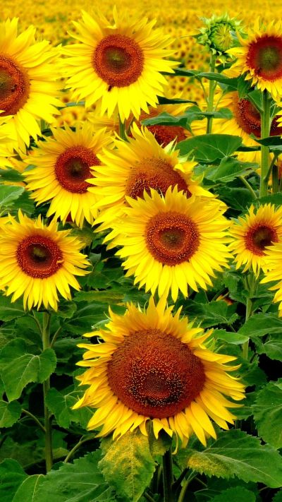 Sunflower iPhone Wallpapers - Top Free Sunflower iPhone Backgrounds - WallpaperAccess