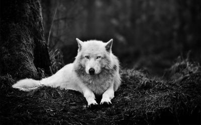 Wolf Wallpapers HD - Wallpaper Cave