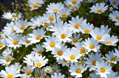 Daisy Wallpapers - Wallpaper Cave