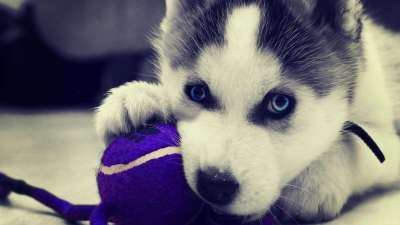 Siberian Husky Wallpapers - Wallpaper Cave