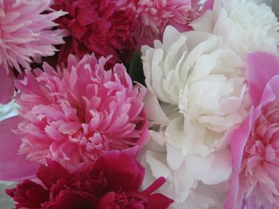 Peony Wallpapers - Wallpaper Cave