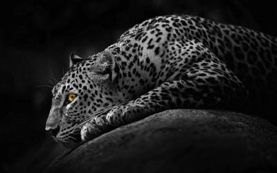 Black Jaguar Wallpapers - Wallpaper Cave