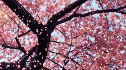 Small Of Cherry Blossom Wallpaper