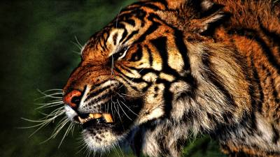 Tiger HD Wallpapers - Wallpaper Cave