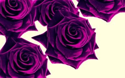 Purple Roses Wallpapers - Wallpaper Cave