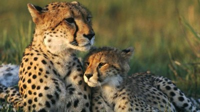Cute Cheetah Wallpapers - Wallpaper Cave