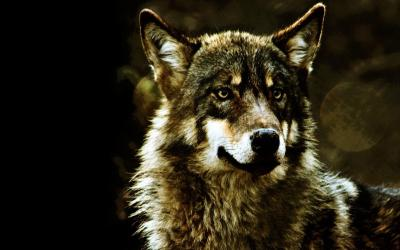 Gray Wolf Wallpapers - Wallpaper Cave