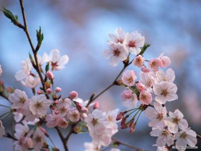 Cherry Blossom Desktop Wallpapers - Wallpaper Cave