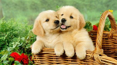 Cute Puppies Desktop Backgrounds HD | 2019 Cute Wallpapers