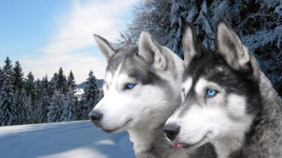 Husky Wallpapers High Resolution and Quality Download