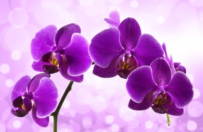 Orchid HD Wallpapers