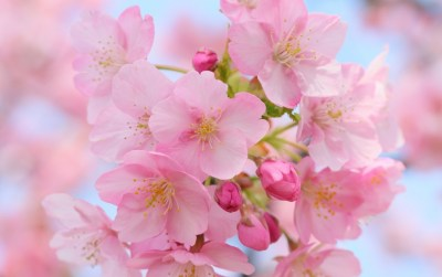 Pink Cherry Blossom wallpapers | Pink Cherry Blossom stock photos