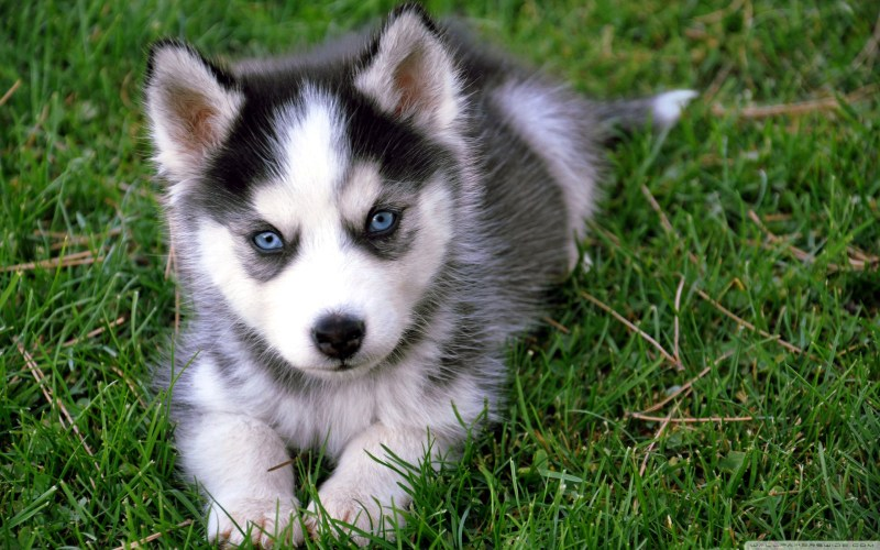 Large Of Cute Husky Puppies