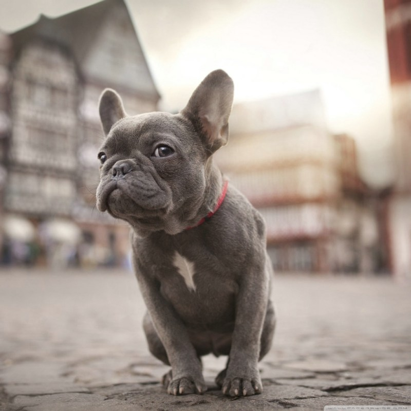 Large Of Cute French Bulldog