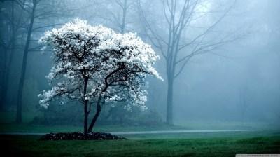 White Magnolia Tree 4K HD Desktop Wallpaper for 4K Ultra HD TV • Wide & Ultra Widescreen ...