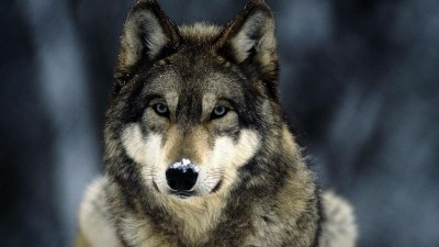 Wolf wallpaper HD ·① Download free amazing full HD backgrounds for desktop, mobile, laptop in ...