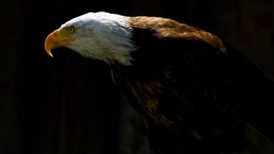 Bald Eagle Desktop Wallpaper ·①