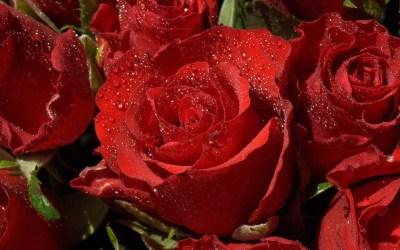 Red Roses Wallpapers for Desktop ·①