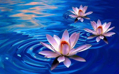 Lotus Flower Wallpaper ·① WallpaperTag