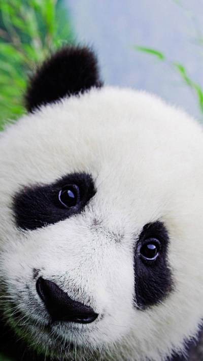 Baby Panda Wallpapers ·①