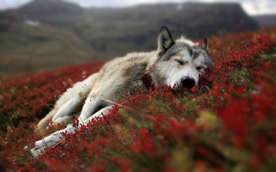 Cool Wolf Backgrounds ·① WallpaperTag