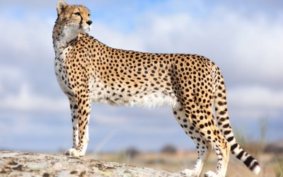 Cheetah Background ·① WallpaperTag