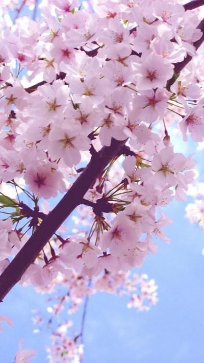 Sakura Flower Wallpaper ·① WallpaperTag