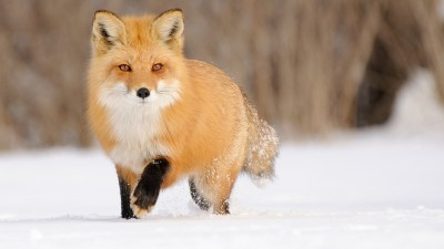 Fox wallpaper ·① Download free beautiful backgrounds for desktop, mobile, laptop in any ...