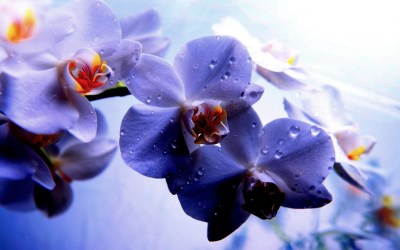 Purple Orchid Wallpaper ·① WallpaperTag