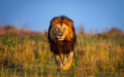 Lion Wallpapers ·①