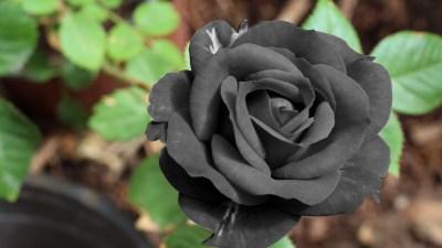 Black Rose Wallpaper ·①