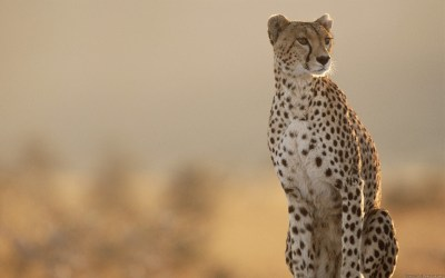 Cheetah Wallpaper HD ·①