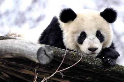 Panda wallpaper ·① Download free beautiful HD wallpapers for desktop computers and smartphones ...