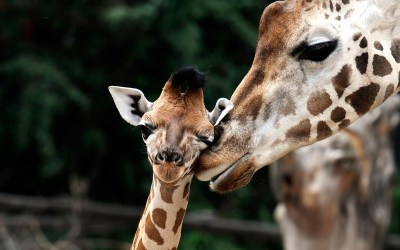 Giraffe Family Wallpapers HD / Desktop and Mobile Backgrounds