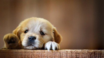 animals, Dog, Puppies Wallpapers HD / Desktop and Mobile Backgrounds