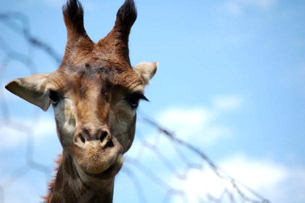 Giraffe, african animals