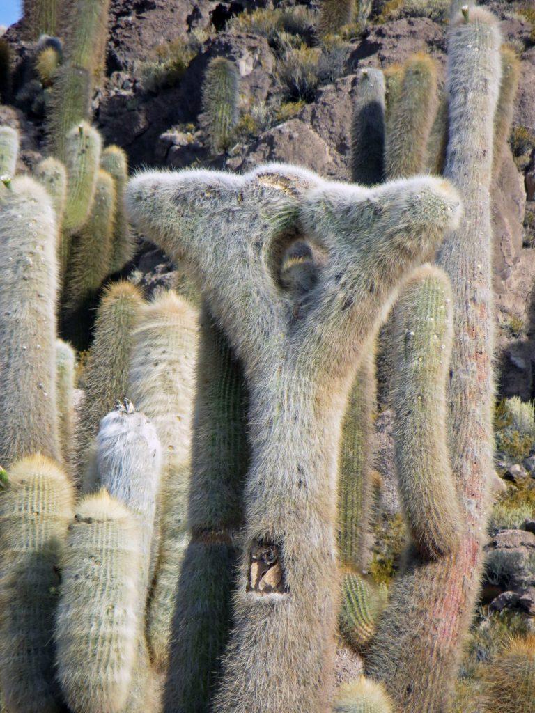 Cactus salar de uyuni Bolivia