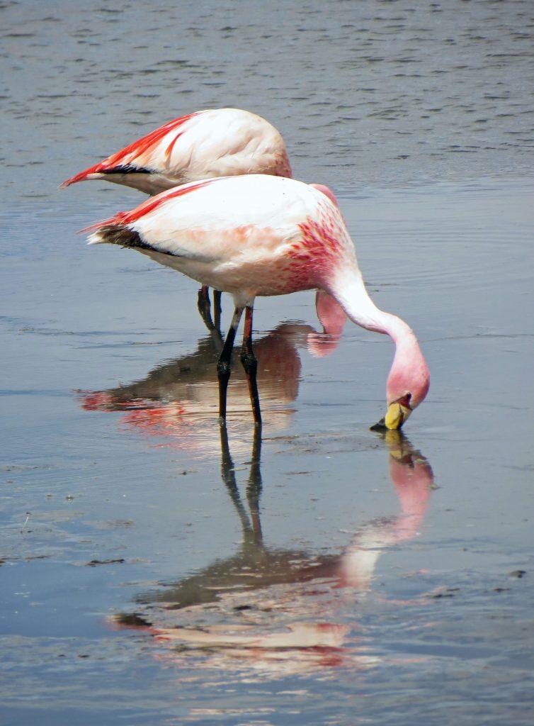 Flamingo salar de uyuni bolivia