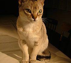 235px-Raffles_singapura_cat