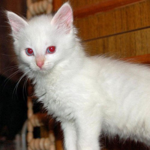 The Difference Between an Albino Cat and a White Cat