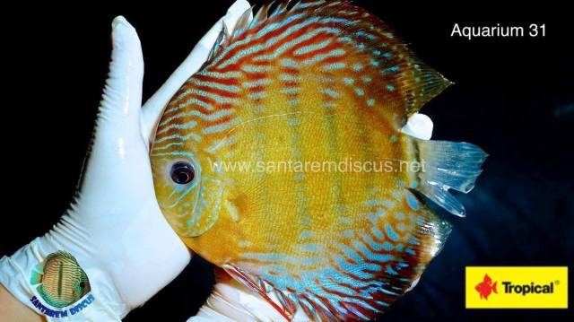 Wattley Discus Becomes Santarem Discus Exclusive Distributor For The U