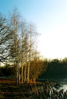 03_JanetBowstead_Silver birches