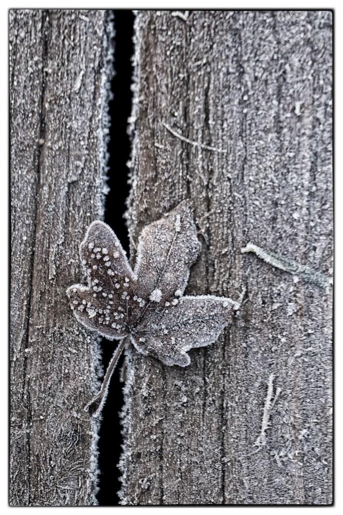 02_keithmautterer_frosted-leaf