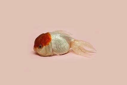 0aagoldfish1.jpg