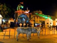 Bulls outside the Krishna Janma Bhoomi temple