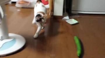 Surprise Cucumber Scares This Kitty!